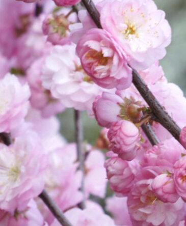 Mandele trīsdaivu Plena (sin. Luizeānija trīsdaivu) /Prunus triloba syn. Amygdalus triloba, Persica triloba/