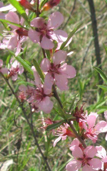 Mandele zemā /Amygdalus nana (Prunus tenella)/