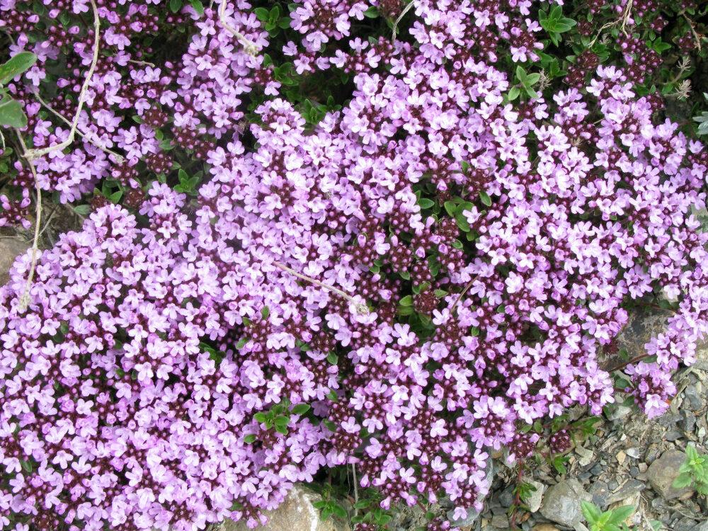 Mārsils mazais /Thymus serpyllum/