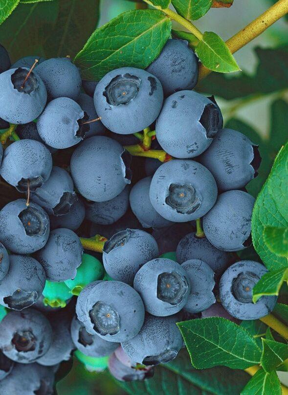 Augstās zilenes jeb krūmmellenes Blue Jay /Vaccinium corymbosum/