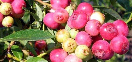 Augstās zilenes jeb krūmmellenes Pink Lemonade /Vaccinium corymbosum Pink Lemonade/