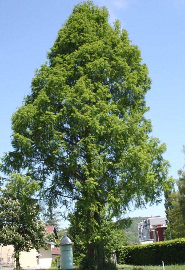 Metasekvoja /Metasequoia glyptostroboides/