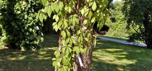 Mežvīns pieclapu, paškāpējs /Parthenocissus quinquefolia var. engelmannii/