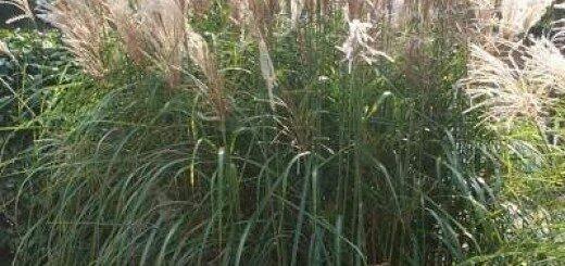 Miskante Ķīnas /Miscanthus sinensis/