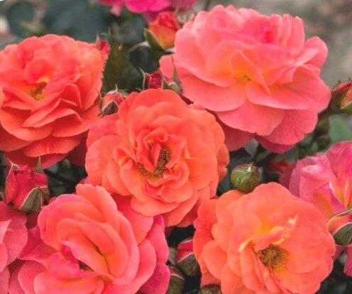 Floribundroze Morning Sun /Rosa/