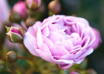 Floribundroze Nautica /Rosa/