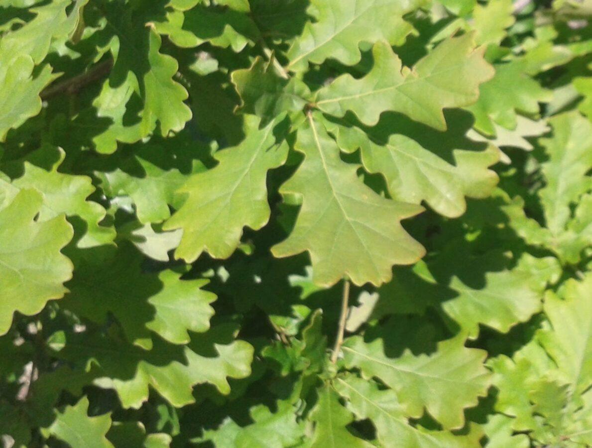 Ozols parastais /Quercus robur/