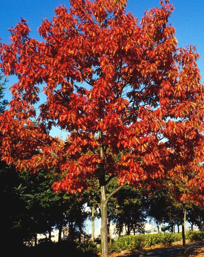 Ozols sarkanais /Quercus rubra/