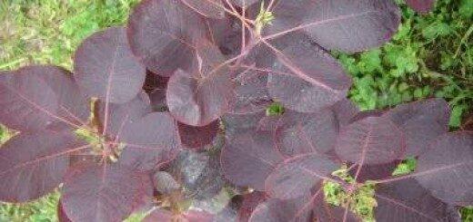 Parūkkoks Parastais Royal Purple /Cotinus coggigria Royal Purple/