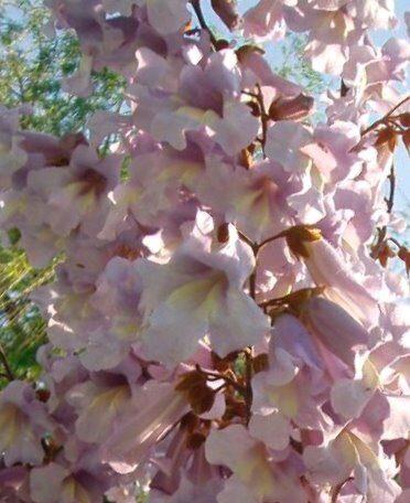 Princešu koks jeb paulonija /Paulownia tomentosa/