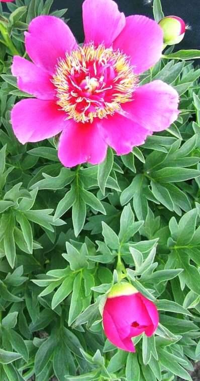 Peonija ārstnieciskā Anemoniflora /Paeonia officinalis/