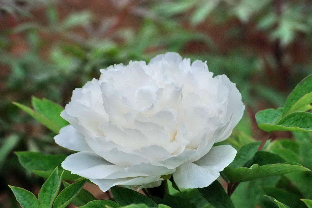 Peonija kokveida Bai Xue Gong Zhu /Paeonia suffruticosa/