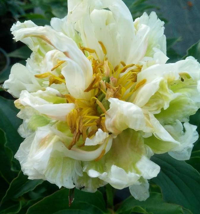 Peonija pienziedu Green Halo /Paeonia lactiflora/