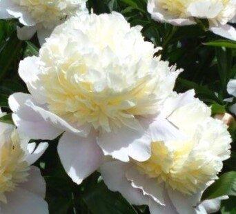 Peonija pienziedu Primevere /Paeonia lactiflora/