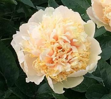 Peonija hibrīdā Quitzin /Paeonia hybrid/