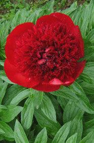 Peonija hibrīdā Red Charm /Paeonia hybrid/