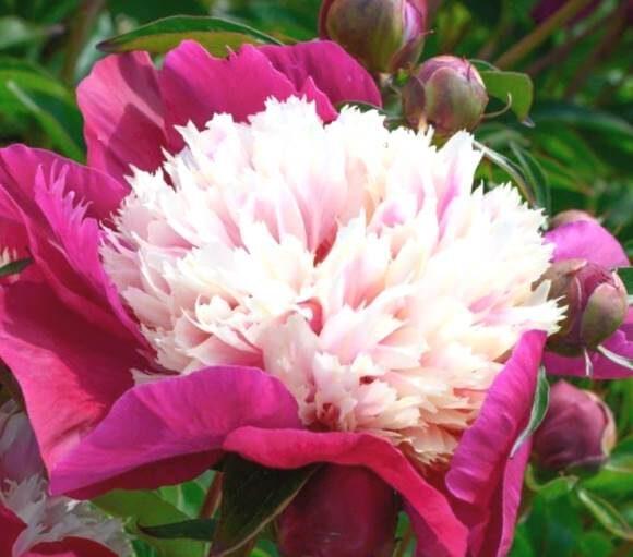 Peonija pienziedu White Cap /Paeonia lactiflora/