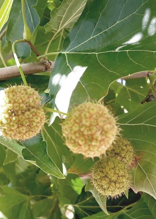 Platana klavlapu /Platanus acerifolia/