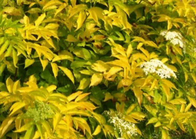Plūškoks Melnais Aurea /Sambucus nigra Aurea/