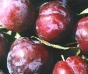 Plūme Ave /Prunus domestica/