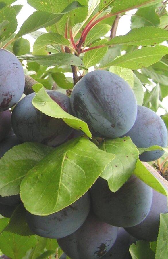 Plūme Belorusskaja /Prunus domestica/