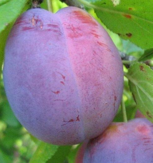 Plūme Jubileum /Prunus domestica/