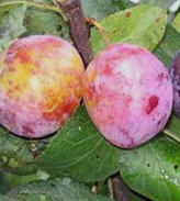 Plūme Julius /Prunus domestica/