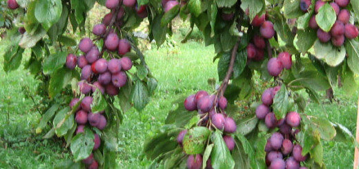 Plūme Kārsavas /Prunus domestica/