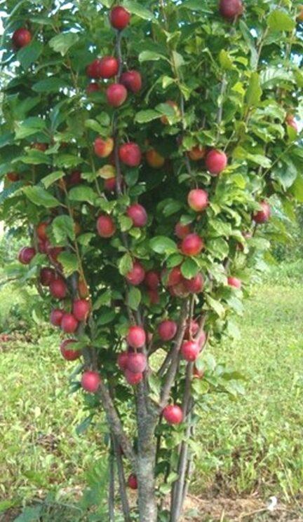 Plūme Kolonnovidnaja /Prunus domestica/