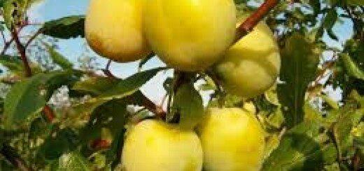 Plūme Ontario /Prunus domestica Ontario/