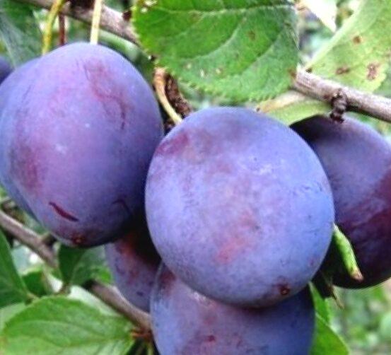 Plūme Renklode Sovetskij /Prunus domestica/