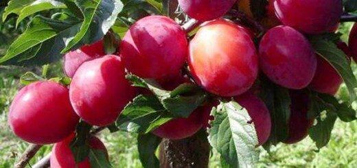 Plūme Skoroplodnaja /Prunus domestica/
