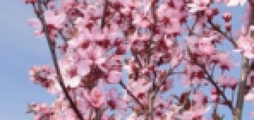 Plūme Spīdola /Prunus domestica/