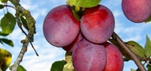 Plūme Viktorija /Prunus domestica/