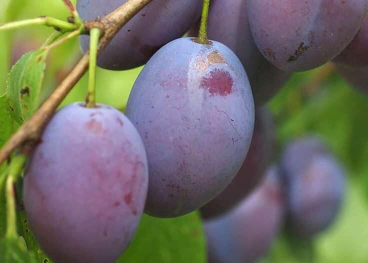 Plūme Violetta /Prunus domestica/