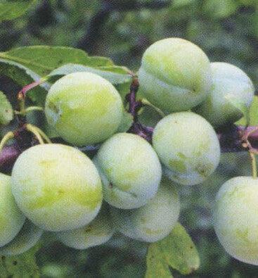 Plūme Zaļā Renklode /Prunus domestica/