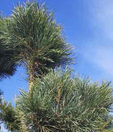 Priede parastā Argentea /Pinus sylvestris Argentea/
