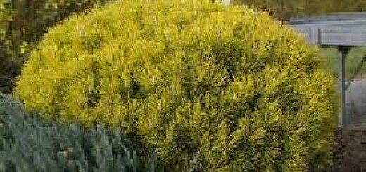 Priede kalnu Ophir /Pinus mugo Ophir/
