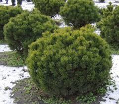 Priede kalnu /Pinus mugo var mugo/