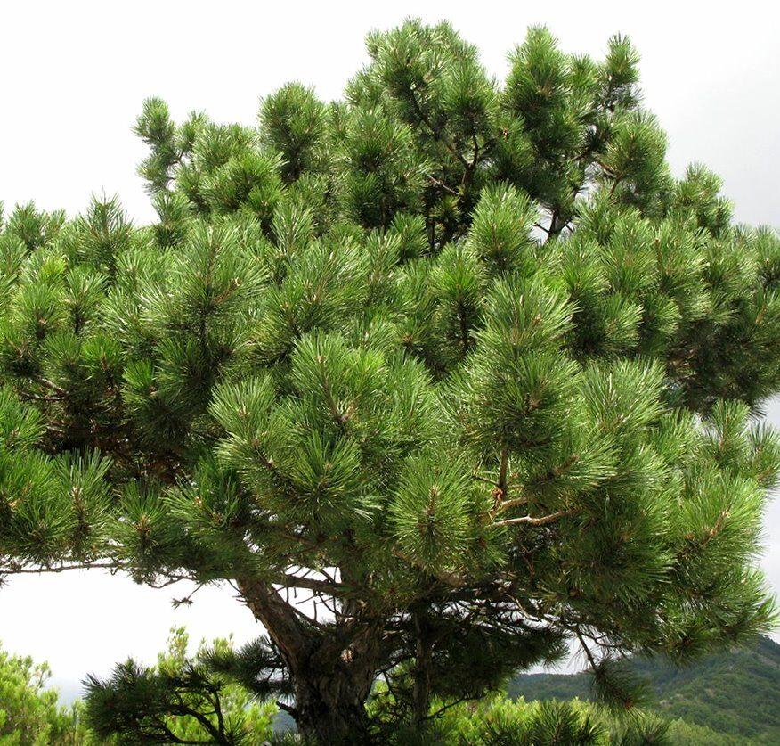 Priede melnā /Pinus nigra/