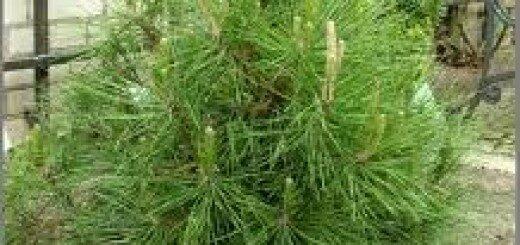 Priede melnā Globosa /Pinus nigra Globosa/