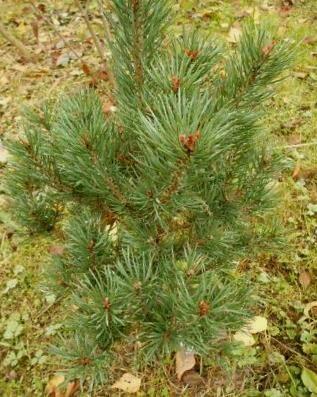 Priede parastā Saxatilis /Pinus sylvestris Saxatilis/