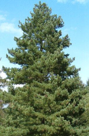 Priede Maķedonijas jeb Rumēlijas /Pinus peuce/