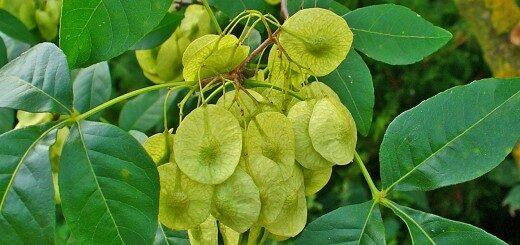 Ptēleja Trīslapu, naudas koks /Ptelea trifoliata/