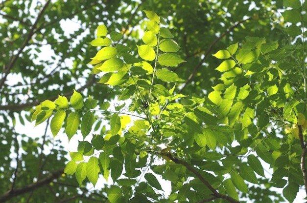 Ragu koks /Gymnocladus dioicus/