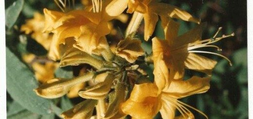 Rododendrs vasarzaļais Dzeltenais /Rhododendron luteum/