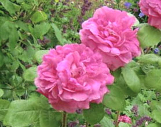 Roze Blush Damask /Rosa x damascena Blush Damask/
