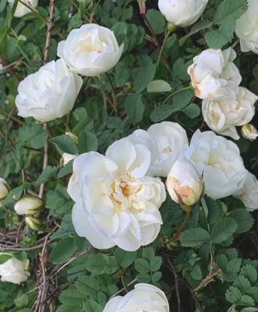 Roze Maijrozīte /Rosa pimpinellifolia/
