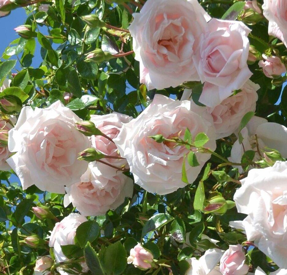 Roze Parka RĪTAUSMA /Rose/