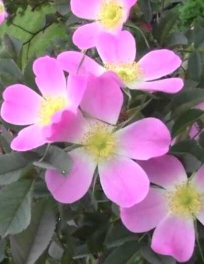 Roze Sārtlapu /Rosa glauca/